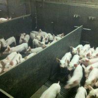 Hokinterieur varkensstal.